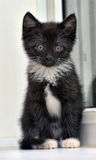 Playful black and white kitten Royalty Free Stock Photo