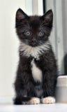 Playful black and white kitten Royalty Free Stock Photo