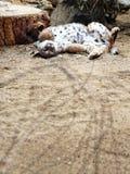 Playful bobcat Stock Image