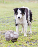 Playful Border collie. With a ball in the rain Stock Photography