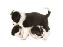Playful border collie puppies Royalty Free Stock Photography