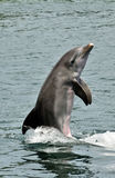 Playful Bottlenose Dolphin Royalty Free Stock Image