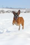 Playful boxer jumping Stock Photo