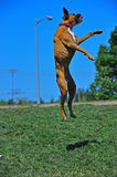 Playful Boxer leaping Royalty Free Stock Photos