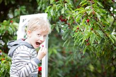 Boy picking cherries. Playful boy picking cherries and eating berries in the orchard standing on the ladder, healthy eating and activity concept, copy space on Royalty Free Stock Image
