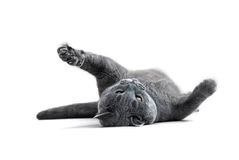 Playful British blue cat Royalty Free Stock Photography