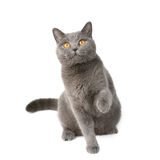 Playful british cat Royalty Free Stock Photography