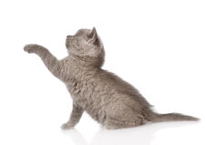Playful british shorthair kitten. isolated on white background Royalty Free Stock Images