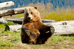 Playful Brown Bear Royalty Free Stock Photography