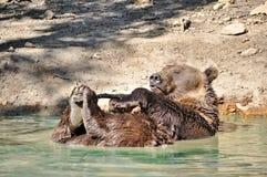 Playful brown bear Stock Image