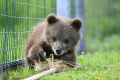 Playful brown bear. Little brown bear is playing with the broom Royalty Free Stock Images
