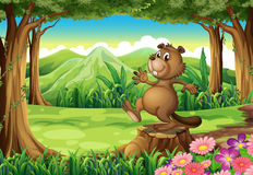 A playful brown beaver above the stump Royalty Free Stock Photo