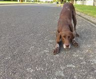 Playful Brown Dog. On a street Stock Image