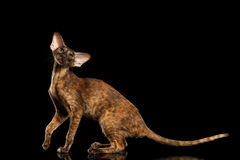 Playful Brown Oriental Cat Standing and Looking Camera, Black Isolated Royalty Free Stock Photo