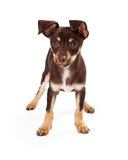 Playful Brown and White Puppy Standing Stock Image