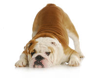 Playful bulldog Stock Photo