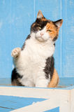 Playful calico cat with her paw in the air Royalty Free Stock Photos
