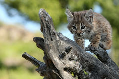 Playful Canadian Lynx Kitten royalty free stock photos