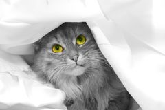 Playful cat. Black and white picture of a long haired cat with yellow eyes. Cat is hiding under white sheet Stock Images