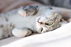 Playful cat. Playful gray cat laying on the sofa at home Stock Image