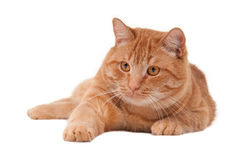 Playful cat Royalty Free Stock Image