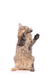 Playful cat Stock Photography