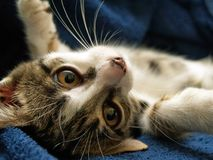 Playful cat. Playful little cat on the couch royalty free stock photo
