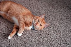 Playful cat. Orange domestic cat laying on carpet waiting to play Royalty Free Stock Photography