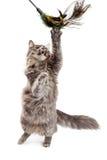 Playful Cat Batting At Feather Toy Stock Photos
