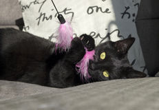 Playful cat. Black cat plays with pink toy Stock Images