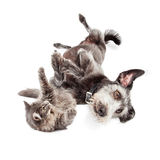 Playful Cat and Dog Rolling Around Together Royalty Free Stock Photo