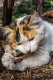 Playful cat gnawing Stock Photography