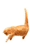 Playful cat jumps isolated on white Royalty Free Stock Image
