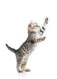 Playful cat kitten is standing Royalty Free Stock Photo