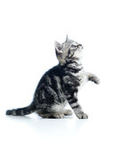 Playful cat kitten on white background Royalty Free Stock Images