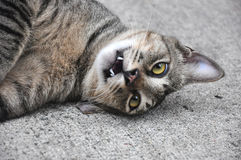 Playful Cat Lying on Ground. A playful gray cat lying on the ground with its head tilted towards the ground Royalty Free Stock Image