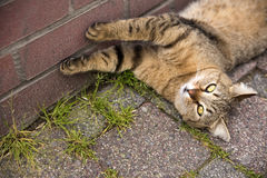 Playful Cat Lying on The Ground Royalty Free Stock Images