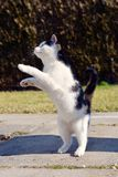 Playful cat playing and jumping Royalty Free Stock Photos
