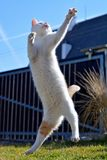 Playful cat playing and jumping Stock Photo