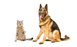 Playful cat Scottish Straight and German Shepherd dog. On white background royalty free stock photos