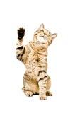 Playful cat Scottish Straight Royalty Free Stock Image
