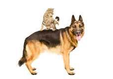 Playful cat Scottish Straight standing on German shepherd. Isolated on a white background Royalty Free Stock Photo