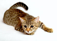 Playful cat. Striped cat plays on a white background Stock Image