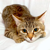 Playful cat. Striped cat plays on a white background Royalty Free Stock Photography