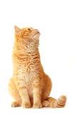 Playful cat waiting. Isolated on white Royalty Free Stock Photos