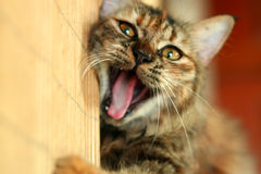 Playful Cat Yawn. A playful cat yawning while playing royalty free stock photography