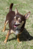 Playful chihuahua dog. Outdoor on grass royalty free stock photo