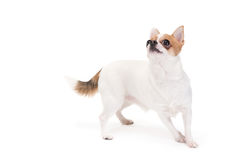 Playful Chihuahua Stock Photo