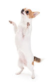 Playful Chihuahua. Standing upright looking up isolated on white background stock photo