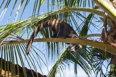 Playful Coati Royalty Free Stock Images